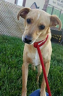 Labrador Retriever/Chihuahua Mix Dog for adoption in Spartanburg, South Carolina - Cooper the lab mix