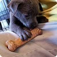 Adopt A Pet :: Pixie - Allen, TX