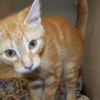 Adopt A Pet :: Jonesy - Westville, IN