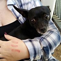 Adopt A Pet :: Layla - springtown, TX