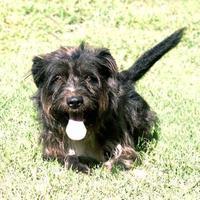 Adopt A Pet :: Toto *Trainee* - Ashland, VA