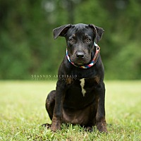 Rottweiler/Labrador Retriever Mix Puppy for adoption in Southbury, Connecticut - Shania