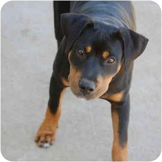 Rottweiler Mix Dog for adoption in Cedar Creek, Texas - Jinx