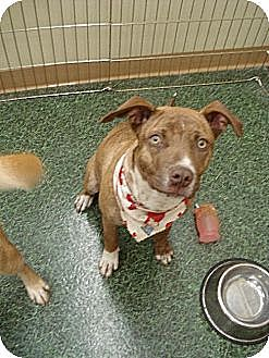American Staffordshire Terrier Mix Dog for adoption in Norman, Oklahoma - Athena