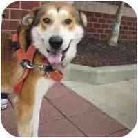 Husky/German Shepherd Dog Mix Dog for adoption in Arlington, Virginia - Thor