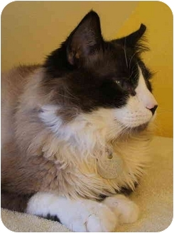 Ragdoll Cat for adoption in Keizer, Oregon - Tompall
