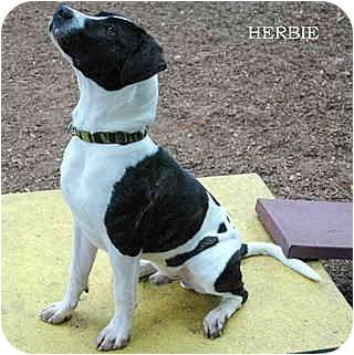 Pointer/Pit Bull Terrier Mix Dog for adoption in Santa Barbara, California - Herbie
