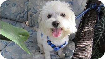 Maltese Dog for adoption in Miami-Dade and Naples/Ft Myers areas, Florida - PAULIE