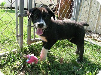 Collie/Labrador Retriever Mix Puppy for adoption in Bedminster, New Jersey - Adam