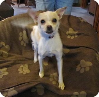 Chihuahua Mix Dog for adoption in Oakland, Arkansas - Fernanda