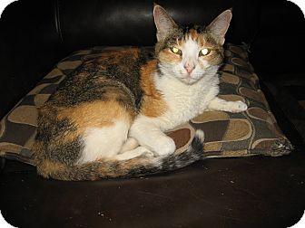 Calico Cat for adoption in Scottsdale, Arizona - Elle- courtesy post