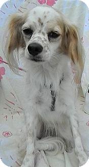 Spaniel (Unknown Type) Mix Dog for adoption in Umatilla, Florida - Freckles 2