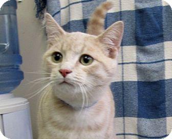 Domestic Shorthair Kitten for adoption in Lloydminster, Alberta - Blitzen