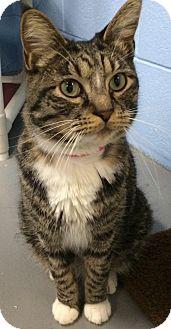 Domestic Shorthair Cat for adoption in Fruit Heights, Utah - Booker