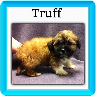Shih Tzu/Terrier (Unknown Type, Small) Mix Puppy for adoption in Somers, Connecticut - Truff
