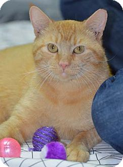 Domestic Shorthair Cat for adoption in Merrifield, Virginia - Wonder
