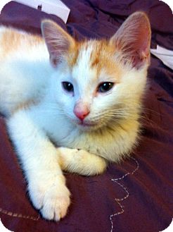 Domestic Shorthair Kitten for adoption in Lombard, Illinois - Teddy