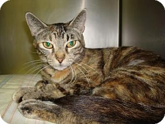 Domestic Shorthair Cat for adoption in Miami, Florida - Lucidity