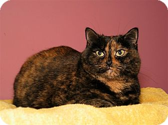 Domestic Shorthair Cat for adoption in Milford, Massachusetts - Gabby