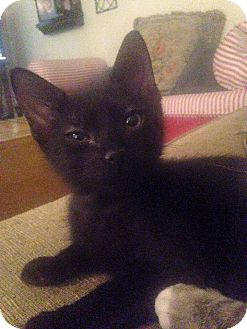 Domestic Shorthair Kitten for adoption in St. Francisville, Louisiana - Angus