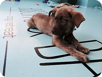 Labrador Retriever/Retriever (Unknown Type) Mix Puppy for adoption in New York, New York - Princess
