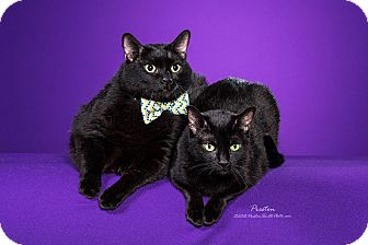 Domestic Shorthair Cat for adoption in Manhattan, Kansas - Oops and Sam