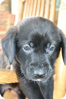 Golden Retriever Mix Puppy for adoption in Foster, Rhode Island - Benjamin