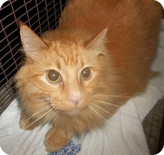 Domestic Mediumhair Cat for adoption in Rapid City, South Dakota - Mr. Fluffles