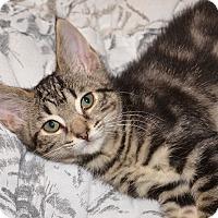 Adopt A Pet :: Tatum - Davis, CA