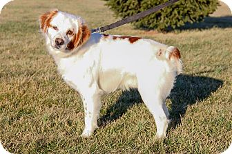 Brittany Mix Dog for adoption in New Oxford, Pennsylvania - Sunny