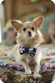 Pomeranian Dog for adoption in Dallas, Texas - Apache