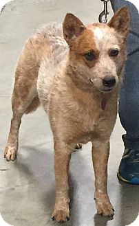 Australian Cattle Dog Mix Dog for adoption in Texico, Illinois - Ariel