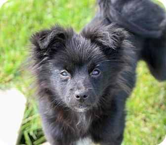 Chihuahua/Pomeranian Mix Puppy for adoption in Liberty Center, Ohio - Jane