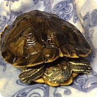 Turtle - Water for adoption in Cheektowaga, New York - Flynn