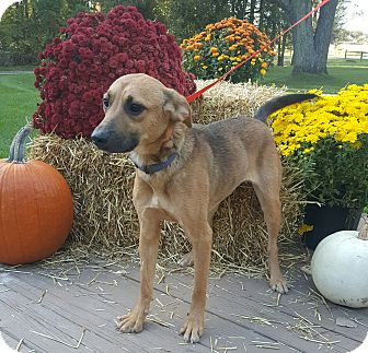 Shepherd (Unknown Type) Mix Dog for adoption in Oakland, Michigan - Maggie