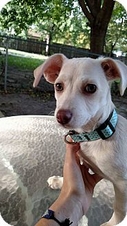 Dachshund/Chihuahua Mix Puppy for adoption in Wichita, Kansas - Hazel