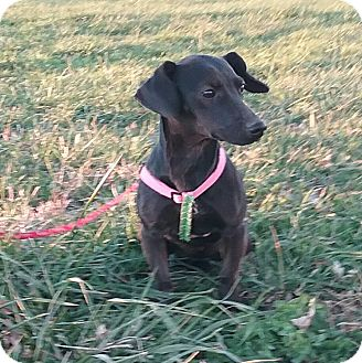 Dachshund Mix Dog for adoption in Macomb, Illinois - Millicent
