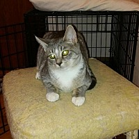 Domestic Shorthair Cat for adoption in Johnson City, Tennessee - Pebbles