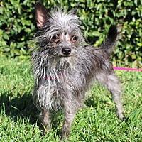 Adopt A Pet :: Gidget - Modesto, CA