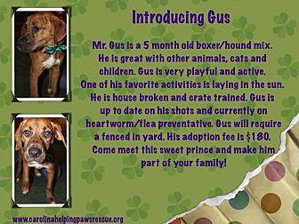 Boxer/Mixed Breed (Medium) Mix Dog for adoption in Sumter, South Carolina - Gus