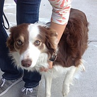 Border Collie Mix Dog for adoption in Memphis, Tennessee - Lacey