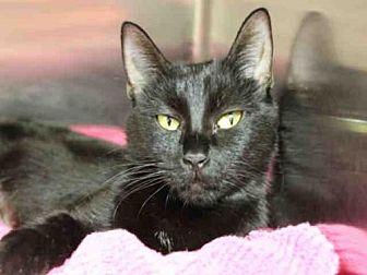 Domestic Mediumhair Cat for adoption in Decatur, Illinois - MARINA