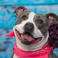 Adopt A Pet :: Stella - Flushing, MI