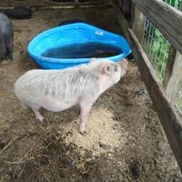 Adopt A Pet :: PIG - Avail for adoption - Inverness, FL