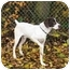 Photo 1 - German Shorthaired Pointer Dog for adoption in Kokomo, Indiana - mack