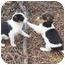Photo 2 - Beagle Mix Puppy for adoption in Bernardsville, New Jersey - Abbie