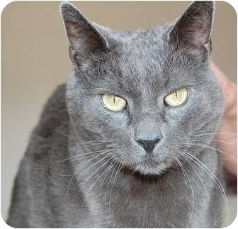 Domestic Shorthair Cat for adoption in Wayzata, Minnesota - Blue