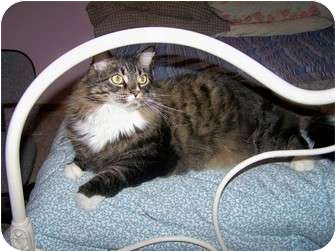 Domestic Mediumhair Cat for adoption in Lake Charles, Louisiana - Rocky and Adrianne