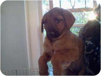 Shepherd (Unknown Type)/Hound (Unknown Type) Mix Puppy for adoption in Bellingham, Washington - Chuck