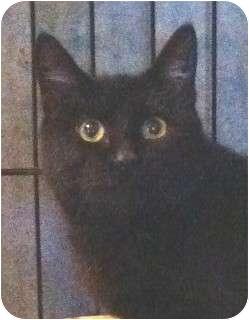 Domestic Shorthair Kitten for adoption in Schertz, Texas - Calvin K